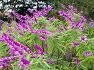 멕시칸 세이지(Mexican bush sage)