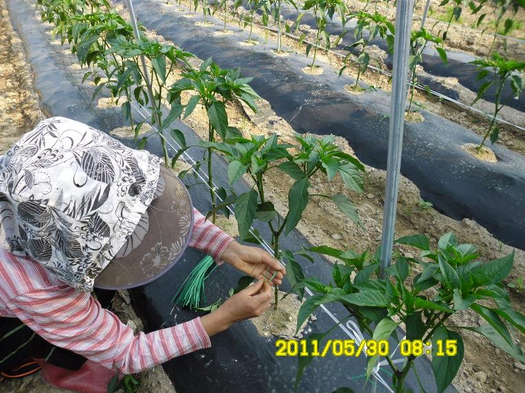 Petani tengah mengikat pohon cabai. Usia tanaman sekitar 1 bulan.