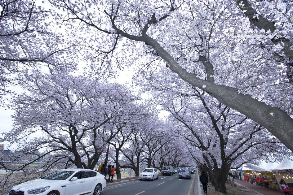 경주는 벚꽃의 도시